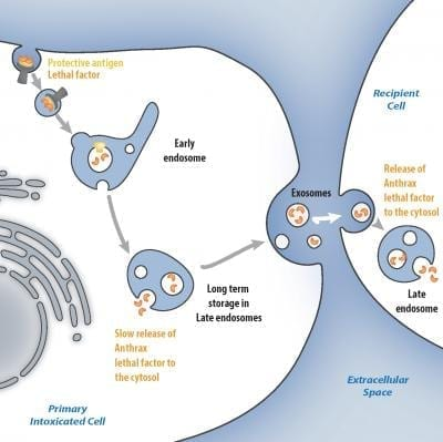 Anthrax Toxin Lethal Factor Delivery Modes