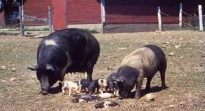Swine litter infected with brucellosis. The disease is commonly passed to humans through unpasteurized milk. Credit: CDC