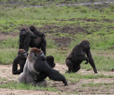 Ebola Outbreak Impact on Gorillas