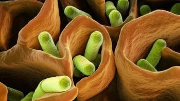E. coli bacteria