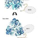 Marburg Antibodies Diagram