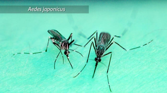 Aedes Japonicus Mosquito Vector
