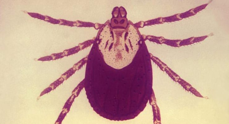Illustration depicts the Rocky Mountain wood tick, Dermacentor andersoni. This tick species is a known North American vector of Rickettsia rickettsii, which is the etiologic agent of Rocky Mountain spotted fever. Credit: Andre J. Brooks/CDC (1972)