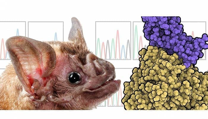 Desmodus rotundus bat - Research on MERS-CoV species adaptation