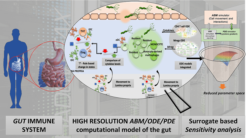 Diagram representing the complex interactions of cytokines, microbes, immune cells in the gut