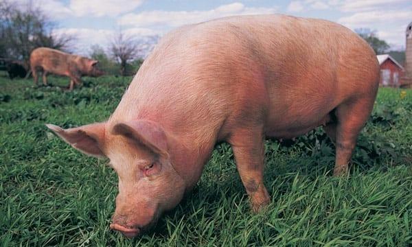 Pig in open field.
