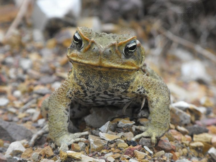 cane toad staring at the camera straight on