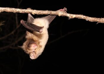 Why It's Important to Study Coronaviruses in African Bats